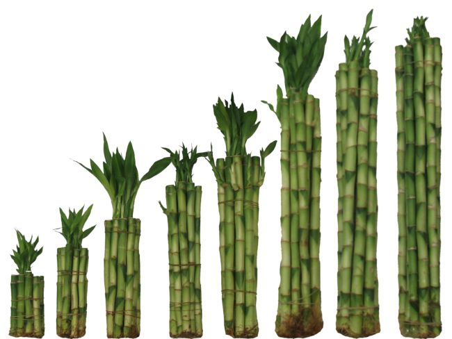 Straight Lucky Bamboo Wholesale
